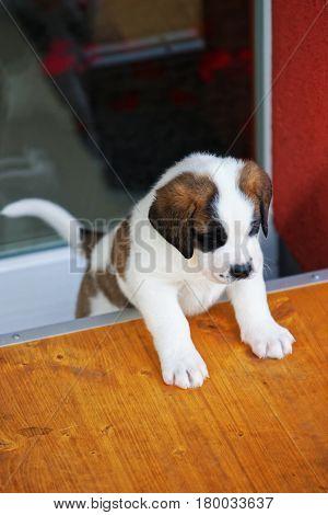 Saint Bernard Puppy At Breeding Kennel In Martigny