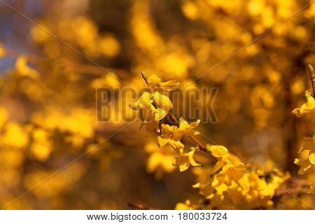 Flowering branches of a border forsythia (Forsythia x intermedia)