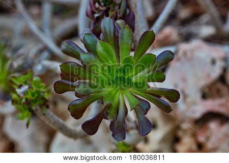 Wild Growing Succulents