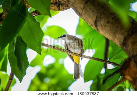 Yellow-vented Bulbul with small insect in its mouth holding on branch