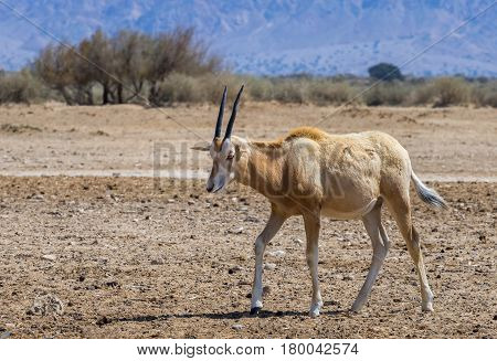 Baby of Sahara scimitar Oryx (Oryx leucoryx). Due to danger of extinction, the species was introduced and adopted in nature reserve near Eilat, Israel
