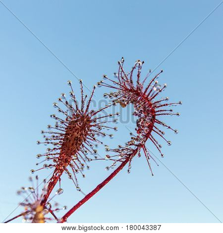 Flowers of sundew on the background of the sky closeup