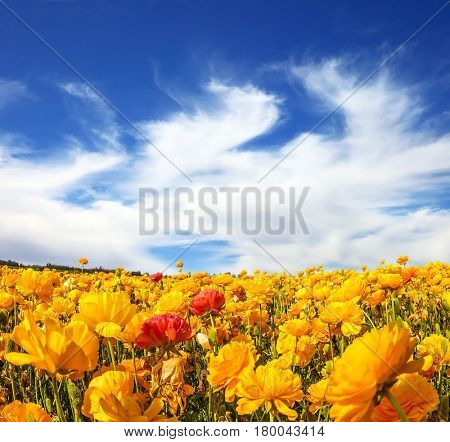Fresh spring wind blows the clouds over the floral splendor. The magnificent blossoming fields of garden buttercups. Concept of rural tourism