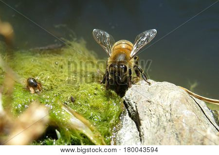 Close-up macro of bee insect sucking water from algae in a garden pond