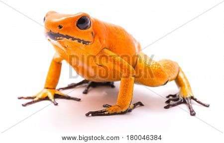 poison dart frog, Phyllobates terribilis orange. Most poisonous animal from the Amazon rain forest in Colombia, a dangerous amphibian with warning colors. Isolated on white