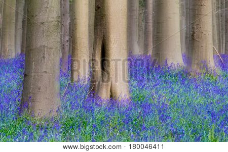 A blue bluebell wild flower carpet among big beech forest tree trunks, Hallerbos Belgium