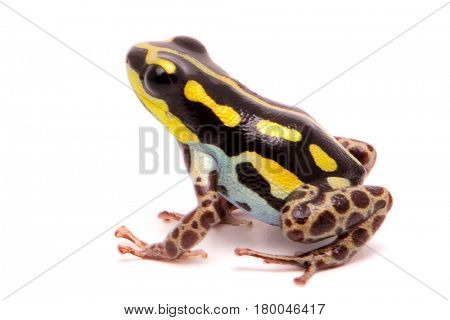 Macro of a poisonous dart or arrow frog, Ranitomeya flavovittata. A yellow striped poisonous animal from the tropical Amazon rain forest in Peru. Isolated on white background.