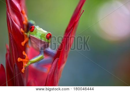 Red eyed tree frog from the rainforest of Central America. Agalychnis callidrias