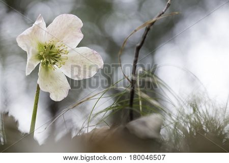 Helleborus niger, commonly called Christmas rose or black hellebore. A poisonous wild flower growing in the mountains of Slovenia.