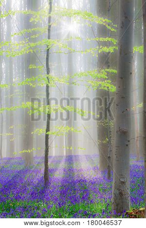 Hallerbos, enchanted beech forest with bluebells. The bluebell is a beautiful spring wildflower they give a nice contrast to the fresh green leaves. Wild flowers mysterious paradise!