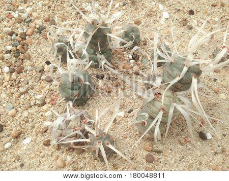 Opuntia Articulata,  Tephrocactus Articulatus