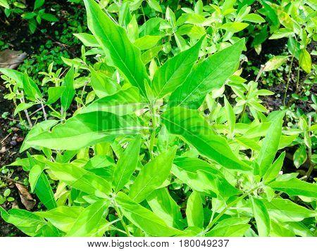 Rhinacanthus Nasutus Tree