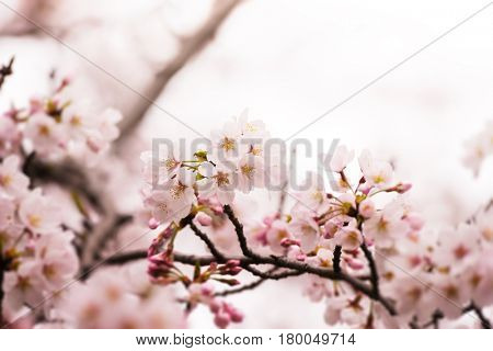 Spring cherry blossoms. Intentionally shot in surreal impressional color.