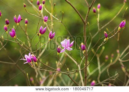 Dark pink Magnolia flowers ?Magnolia quinquepeta, Magnolia liliiflora? in full bloom.