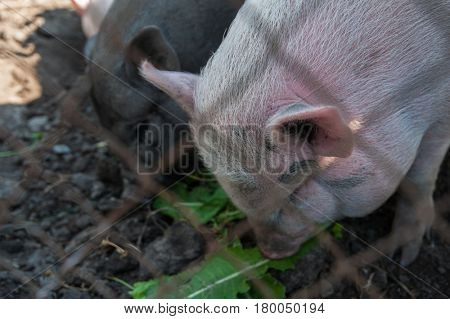 Pig on a pig farm in Altay