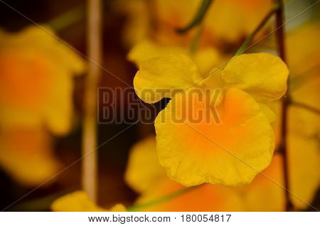 Beautiful yellow Dendrobium chrysotoxum blooming in garden