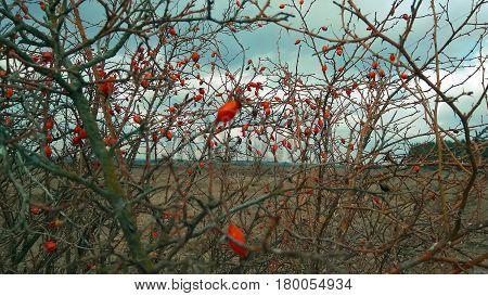 Briar fruit, wild rose hip shrub in nature sky