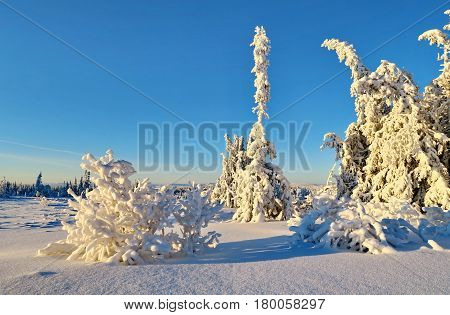 Fir-tree and pines heavily covered with fresh snow on background blue sky and mountains.  Subpolar Urals, Russia