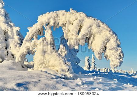 Fir-trees and pines heavily covered with fresh snow on blue sky background.  Subpolar Urals, Russia
