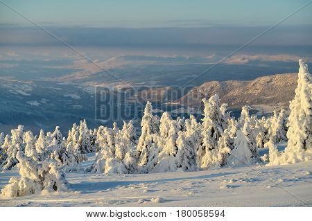 Fir-trees and pines heavily covered with fresh snow on background blue sky and mountains.  Subpolar Urals, Russia