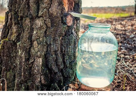 The spring gathering of birch SAP in the woods. A collection of delicious birch juice in a jar