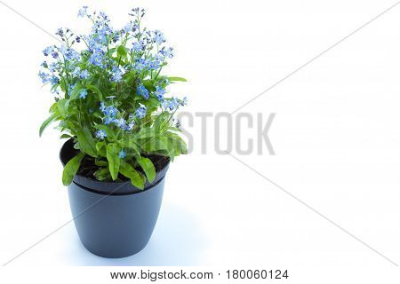 Forget-me-eared, Forget Me Not (myosotis Scorpioides) With Blue Flowers In A Dark Blue Pot