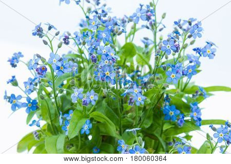 Forget Me Nots (myosotis Scorpioides) With Blue Flowers In A Dark Blue Pot - Close