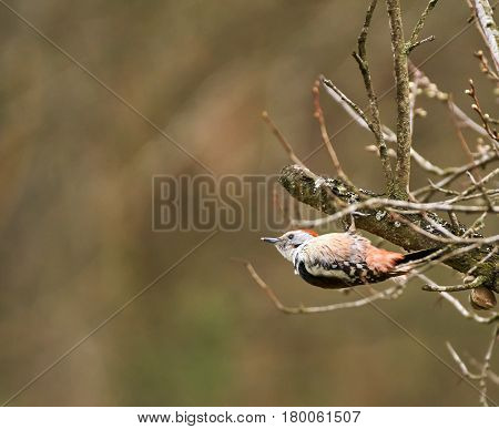 Spotted Woodpecker Perched On A Branch