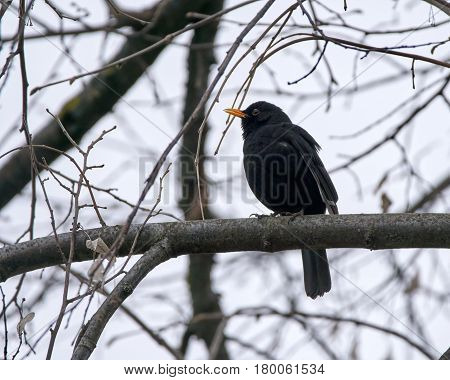 Blackbird Perched On A Branch