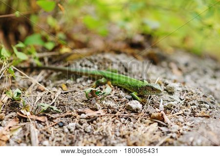 Green Lizard On A Background Of Pine Bark.