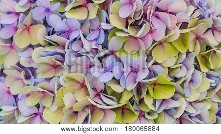 Close up of Hydrangea flower, also named common names hydrangea or hortensia, it is  flowering plants native to southern and eastern Asia or America. Saturated and vivid nature background for wallpaper or web design. poster