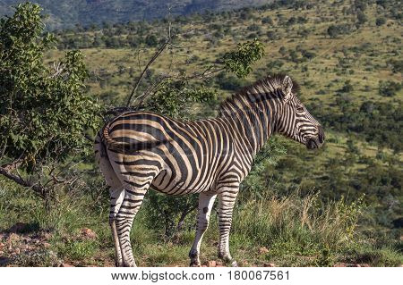 Burchells zebra (Equus quagga) enjoying the morning sun