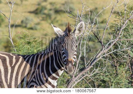 Burchells zebra ( Equus quagga ) closup photograph