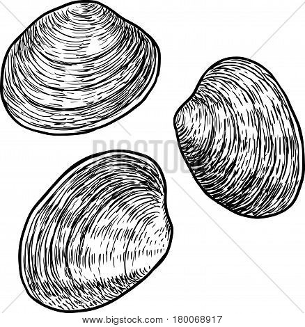 Edible clam illustration, drawing, engraving, ink, line art