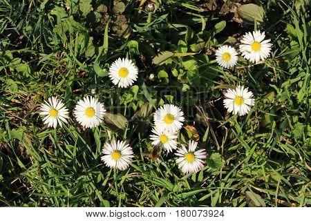 Daisy/ These are daisy flowers on garden.
