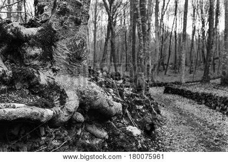 a view of La Fageda de en Jorda, a forest of beech trees, in the Garrotxa Volcanic Zone Natural Park, in Olot, Spain, in black and white