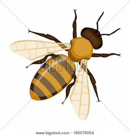 Flying realistic honey bee close-up isolated on white background. Striped cartoon apis or queen honeybee. Vector illustration of insect with wings