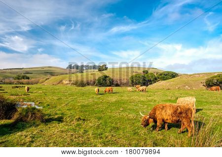Highland cows on a field, California, USA.