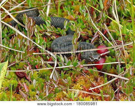 Closeup European adder (lat.Vipera berus). Venomous snake on the In the swamp. Wild nature. Urals, Russia