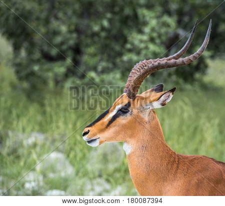 Black-faced Impala In Etosha National Park, Namibia