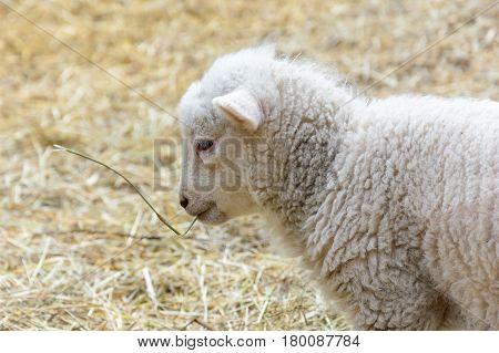 Small Domesticated Lamb On Pasture