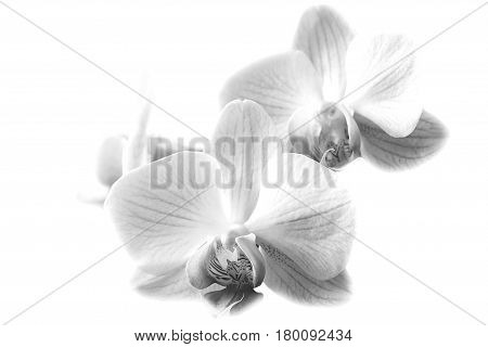 Orchid isolate b W on the branch Black and white flowers
