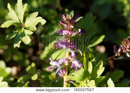 Flowers of a hollowroot (Corydalis cava) in a forest.