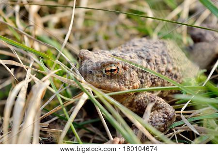 Large Earth Toad Hunts From Shelter In The Dry Grass