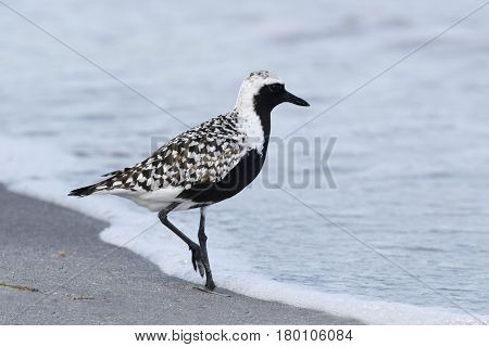 A Black-bellied Plover in breeding plumage on a Florida beach