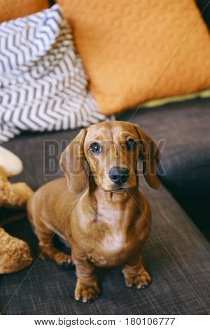 5 months old smooth brown dachshund puppy at home, sitting on a sofa, toy and cushions near.