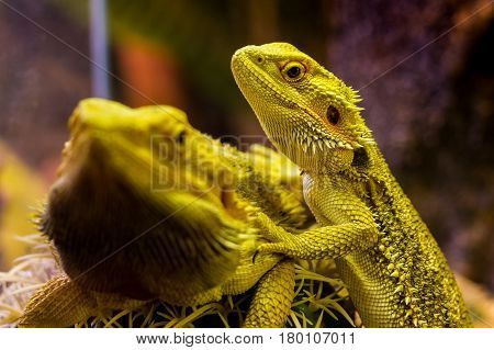 Uzhhorod Ukraine - March 26 2017: Bearded agamas in terrarium during an exhibition of terrarium animals.