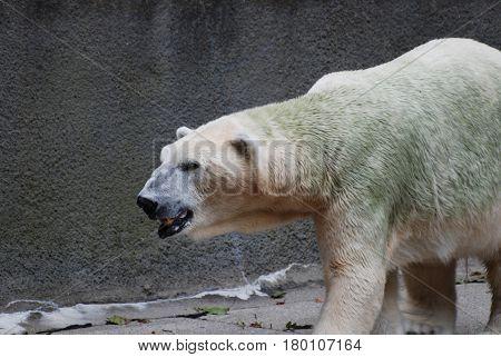 An up close look at a polar bear's face!