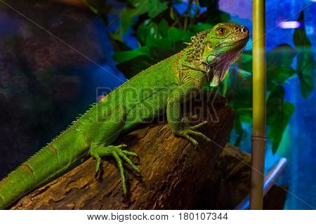 Uzhhorod Ukraine - March 26 2017: Green varan in terrarium during an exhibition of terrarium animals.