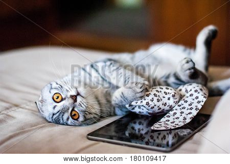 Scottish Folded Cat with Web Tablet. A silver cat with bright orange eyes. Scottish Folded Cat with a toy.